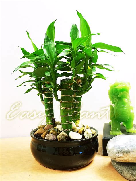 1 Unusal Lucky Tiger Bamboo 3 Trunks Group Plants ...