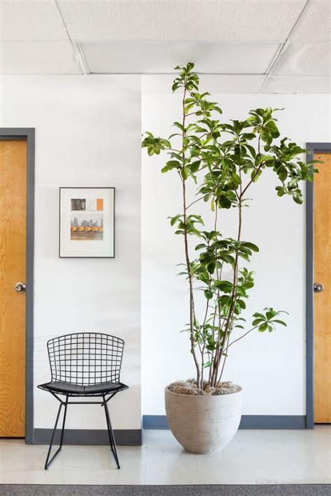10 árboles que se pueden cultivar en interior