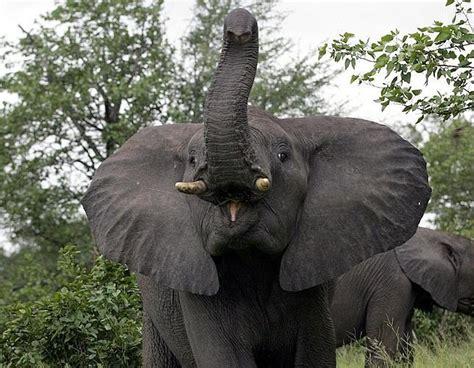 10 curiosità da sapere sugli elefanti