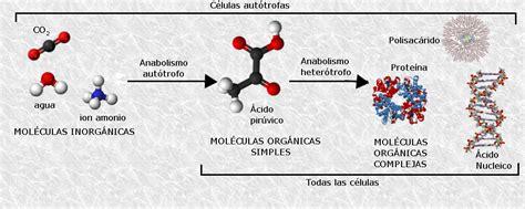 10 Ejemplos de Catabolismo y Anabolismo en los Seres Vivos ...