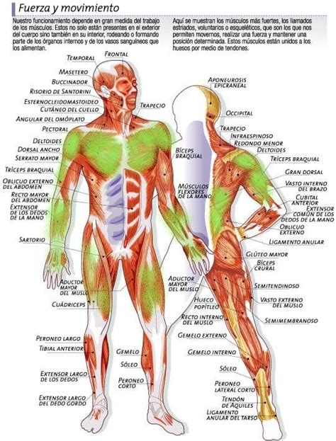 1000+ images about Partes del cuerpo humano on Pinterest ...