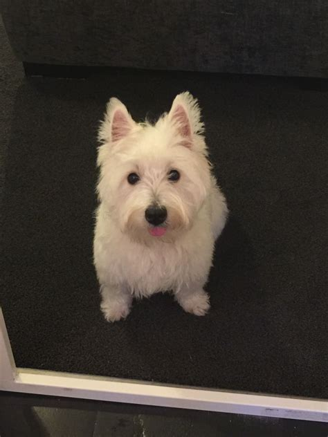 11 month old female Westie for sale   Chertsey, Surrey ...