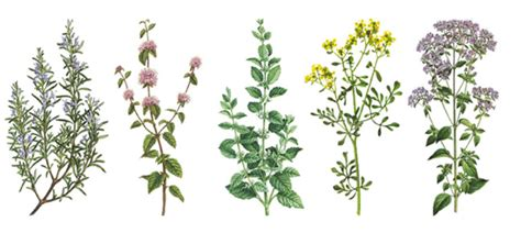 +12 PLANTAS Medicinales Para CURAR la Impotencia Masculina ...