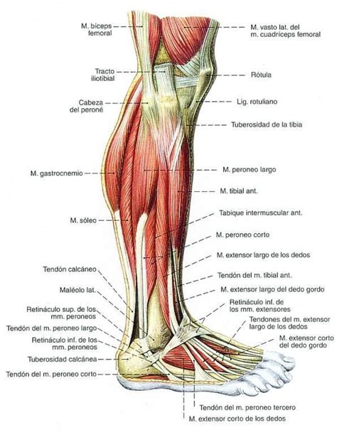 13 best Músculos del cuerpo humano. images on Pinterest ...