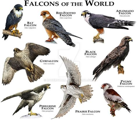 15 best Falcons images on Pinterest   Falcons, Hawks and ...