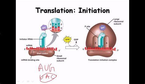 16. Translation  protein biosynthesis    YouTube