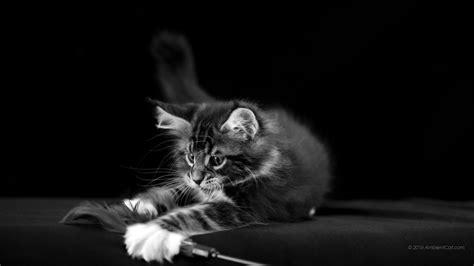 1600 x 900 Maine Coon - En blanco y negro: hermosas fotos ...