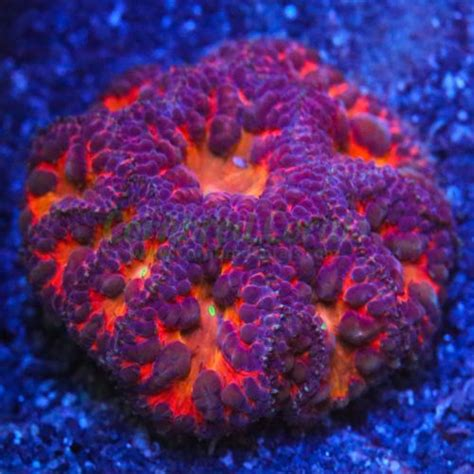 17 best Blastos images on Pinterest   Aquariums, Coral ...