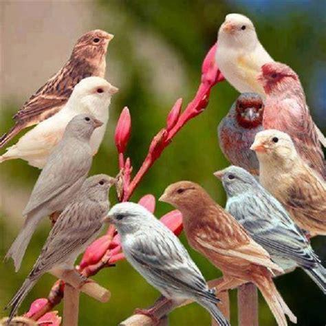 17 Best ideas about Canary Birds on Pinterest | Pretty ...