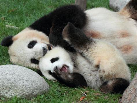17 mejores ideas sobre Imagenes De Osos Panda en Pinterest ...
