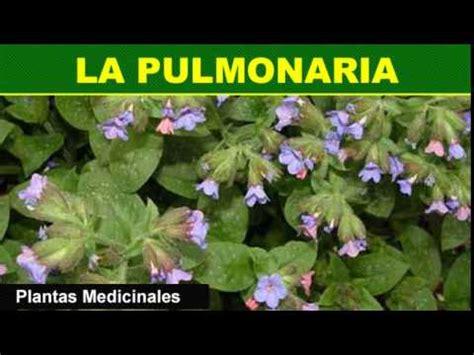 188 La Pulmonaria Plantas Medicinales - YouTube