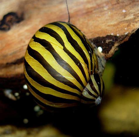 $20 for 5: BUY LATER: zebra nerite snail - does not ...