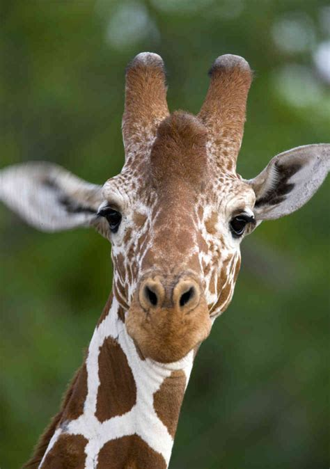 20+ Pictures of Giraffes