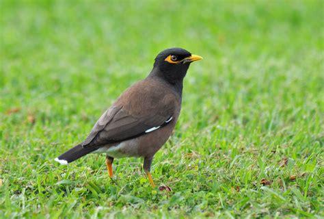 200 Birds: Introduced Birds of the Big Island, Hawaii ...