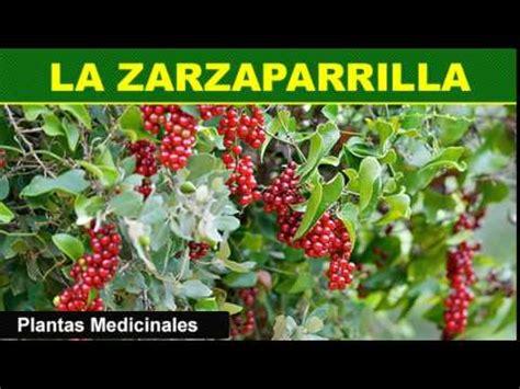 202 La Zarzaparrilla Plantas Medicinales - YouTube