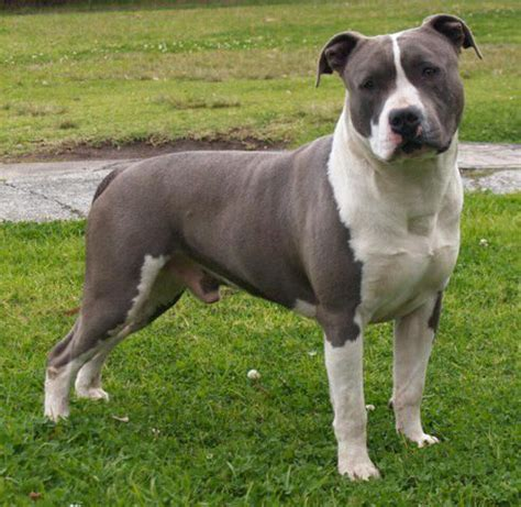 25+ best ideas about American staffordshire terriers on ...
