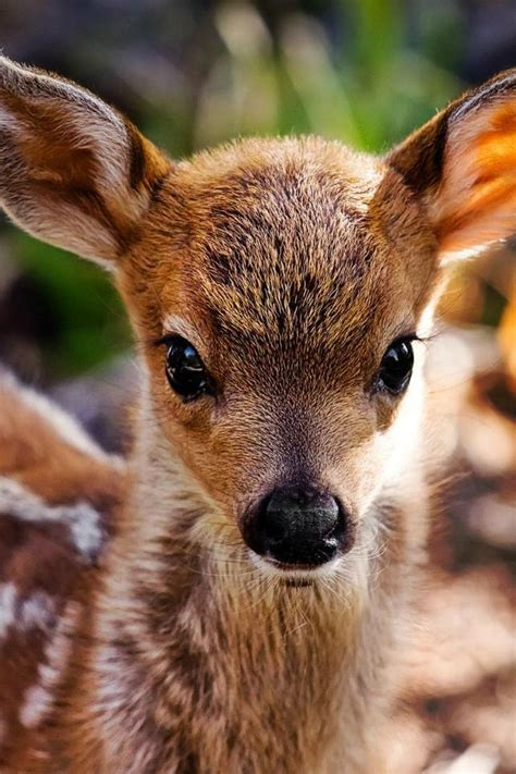 25+ best ideas about Baby deer on Pinterest | Fawning ...