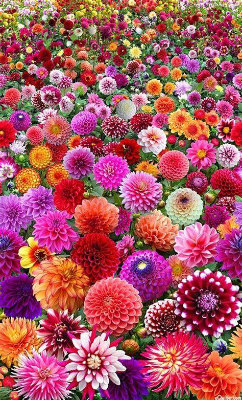 25+ Best Ideas about Dahlias on Pinterest | Dahlia flowers ...