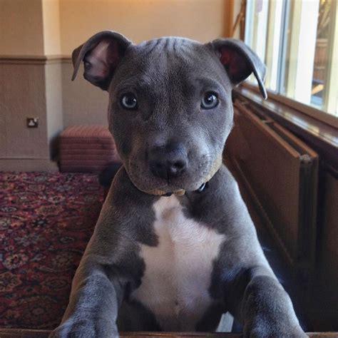 25+ best Staffordshire bull terriers ideas on Pinterest