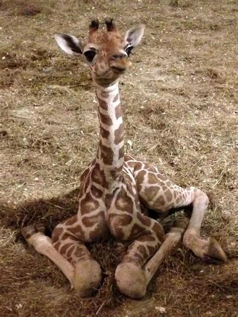 2571 best giraffes. images on Pinterest | Baby giraffes ...