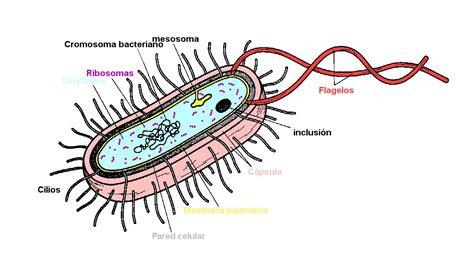 3.1. La célula procariota