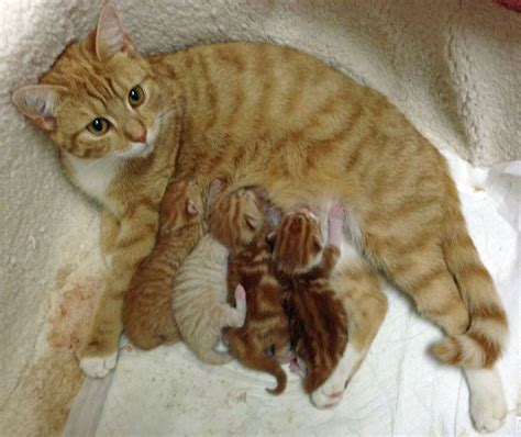 3 Ginger Kittens for sale   2 Male and 1 Female ...