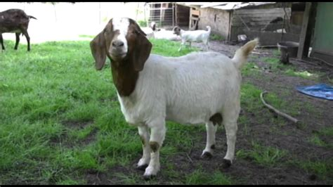 3 year old twin Female Boer Goats for sale!!   YouTube