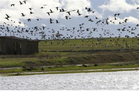 30.000 aves pasan el puente en Villafáfila   Castilla y ...