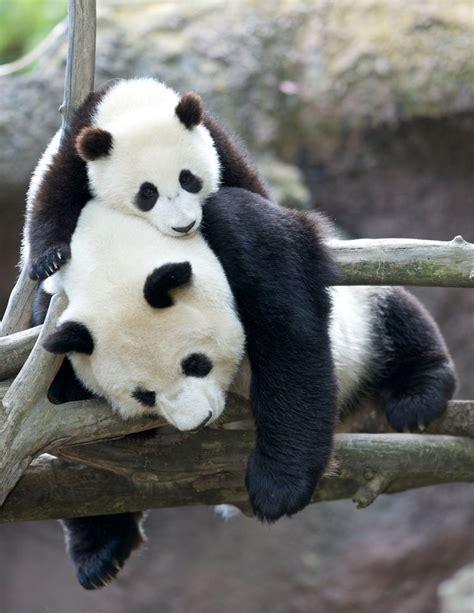 394 best images about Panda Photos on Pinterest | Panda ...