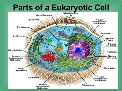 4.2 Parts Of A Eukaryotic Cell