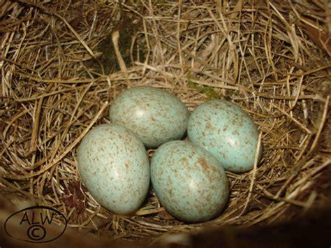 4 Blackbird eggs | Flickr - Photo Sharing!