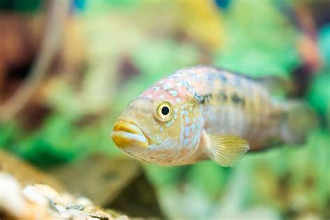 4 peces tropicales de agua dulce para acuario   Hogarmania