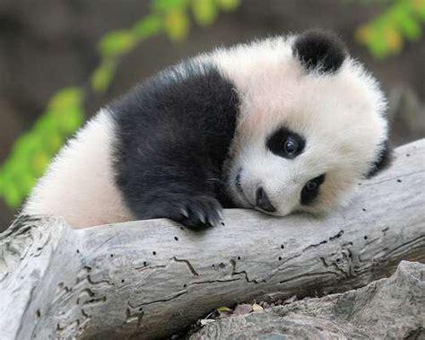 40 Baby Panda Photos : Freakify.com