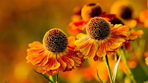 4K Orange Flowers Wallpapers High Quality | Download Free