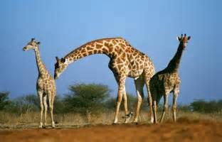 5 fascinantes curiosidades sobre las jirafas - VIX
