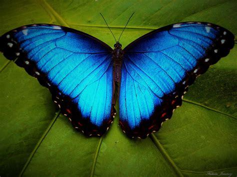 5 Interesting Facts About Blue Morpho Butterflies | Hayden ...