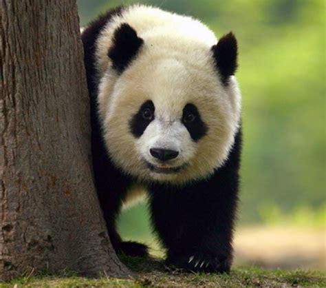 + 50 imágenes para WhatsApp de dulces osos panda muy ...