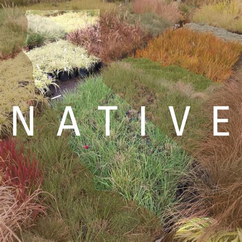 7 California native grasses for your landscape project ...