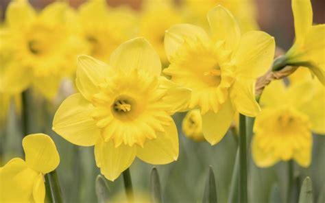 9 flores amarillas ideales para alegrar tu jardín   VIX