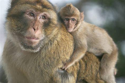 A los monos en Marruecos los matan por diversión, según ...