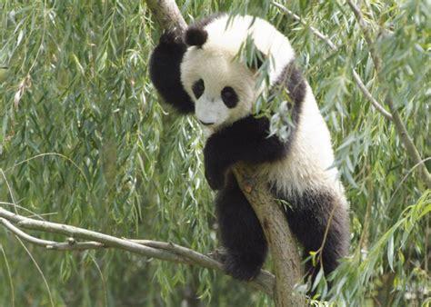 aAnimalandia: Osos panda