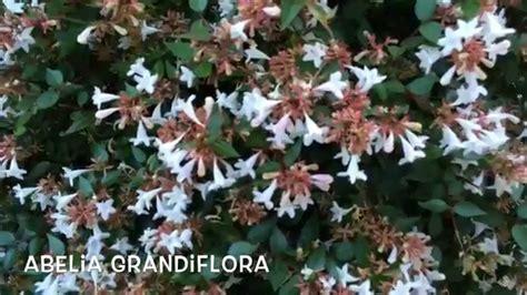 Abelia grandiflora. Garden Center online Costa Brava ...