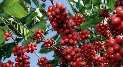 Abuela Cebolleta. Remedios y Trucos de la Abuela. » café