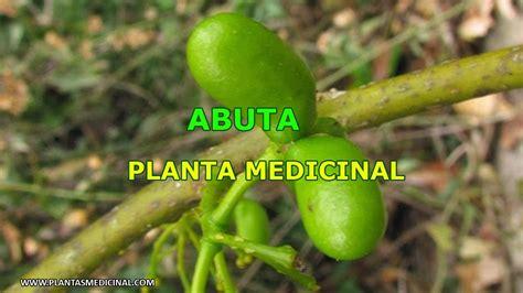 Abuta - Planta Medicinal - YouTube