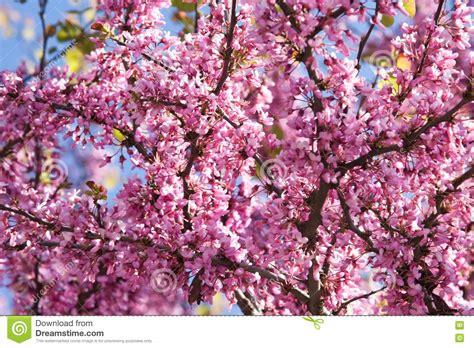Acacia Color De Rosa De Las Ramificaciones Florecientes ...