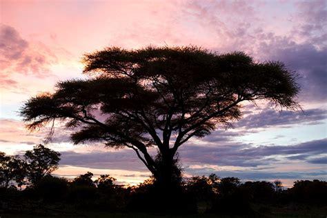 Acacia Color