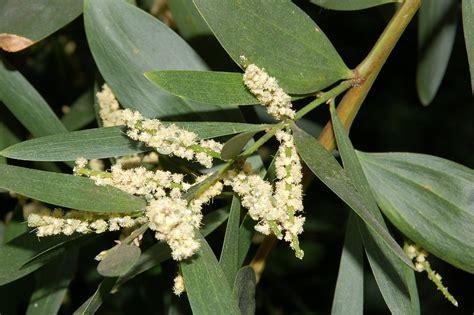 Acacia longifolia   Wikipedia, la enciclopedia libre