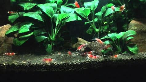 acuario de gambas Crystal red   YouTube