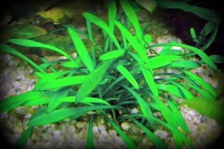 ACUARIO PLANTADO LOW-TECH: PLANTAS PARA ACUARIO PLANTADO ...