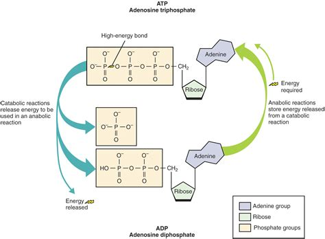 Adenosine Triphosphate  ATP  – Definition and Synthesis